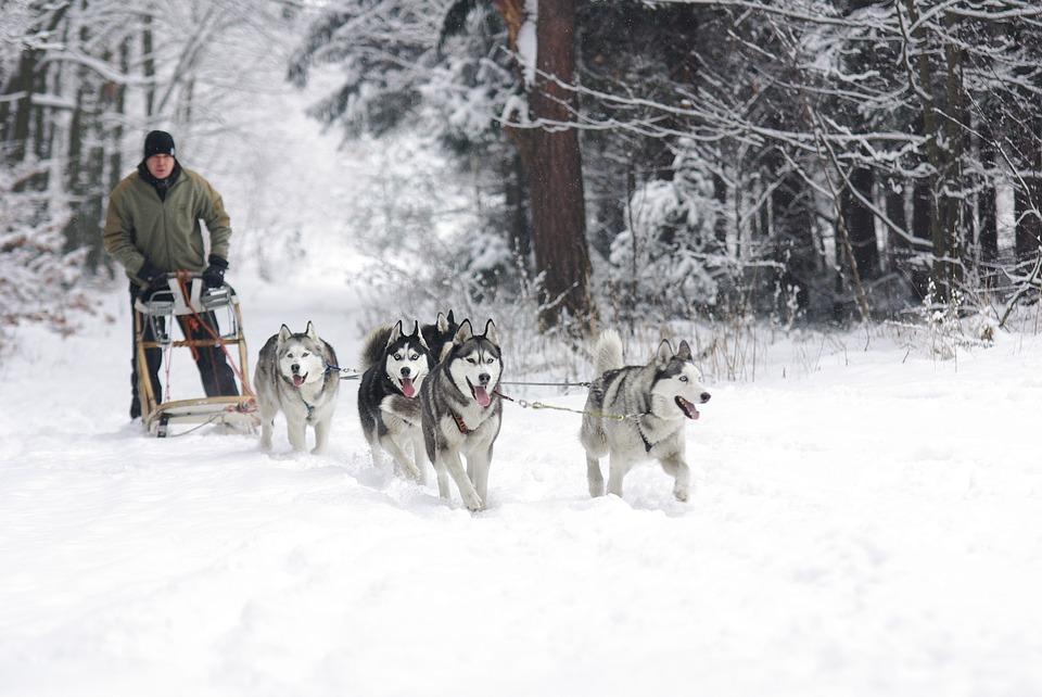 Traîneaux à chiens à Payolle, Campan